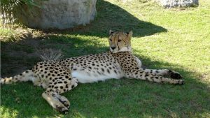 cheetah-preservation-spier-SA