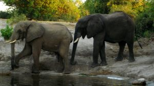 elephants-in-botswana