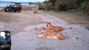 female-lions-2