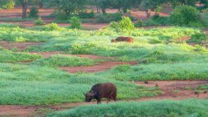 tsavo-buffalo