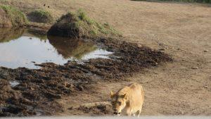 lioness-59