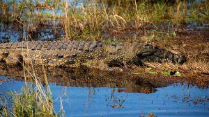 crocodile-botswana