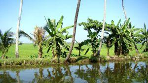 kerala-rice-fields