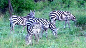 tsavo-zebras